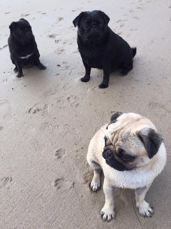 pugs on the beach