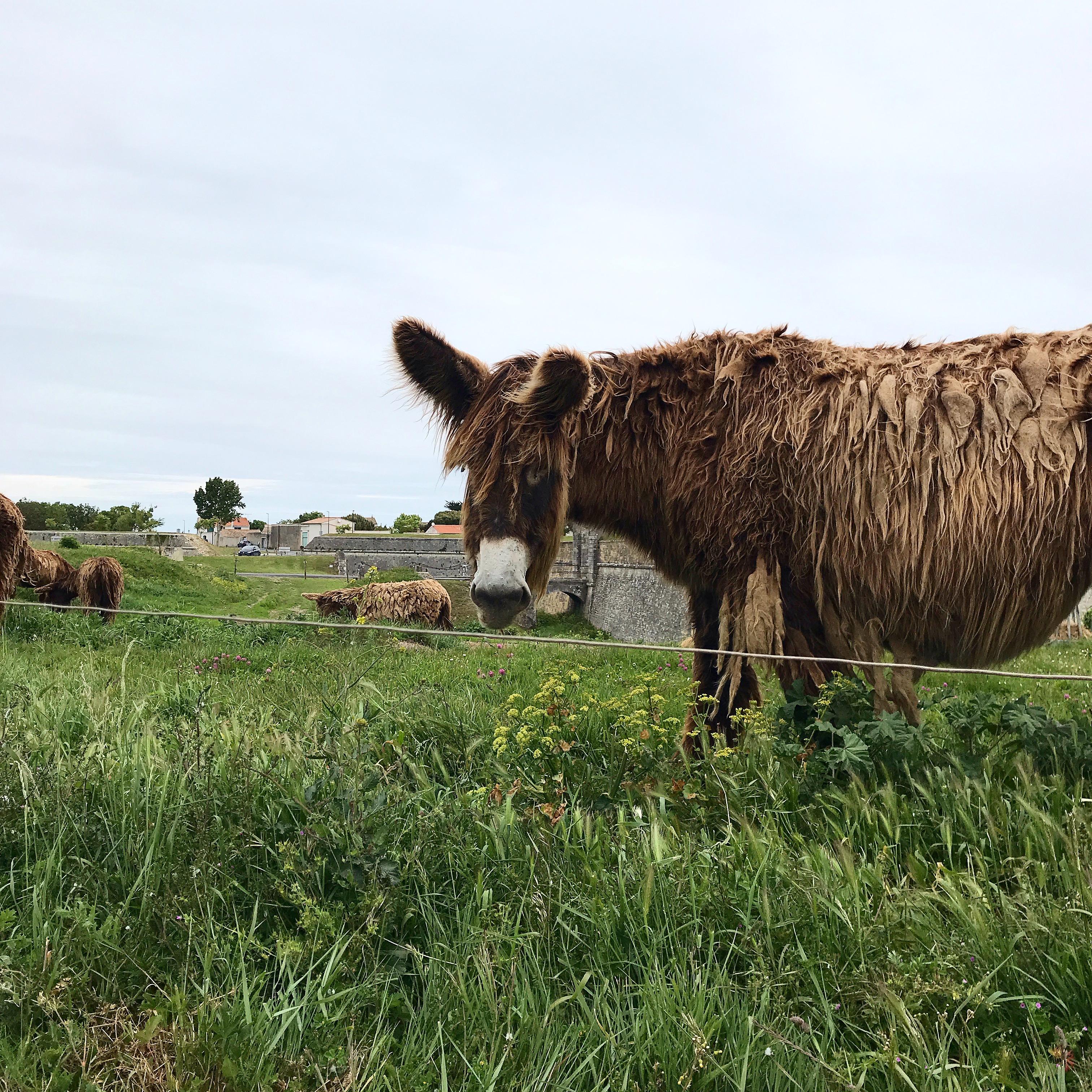Donkeys in Ile de Re